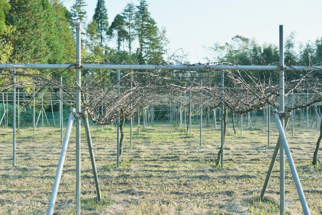 山本ぶどう園の畑
